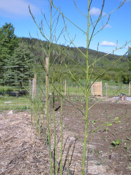 Asparagus needs to grow in a weed free bed.
