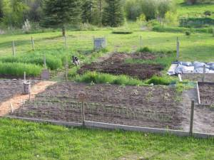 fall rye, vegetable garden, gardening, growing food, country living in a cariboo valley