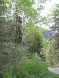 fall rye, vegetable garden, gardening, growing food, country living in a cariboo valley, saskatoon berry bush