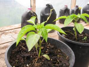 food, grow your own vegetables, hot peppers, sweet peppers, country living in a cariboo valley
