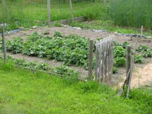 grow your own food, country living in a cariboo valley, vegetables, naturally grown food