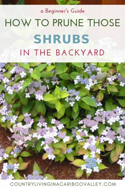 Here's when to prune spring blooming shrubs. How to prune summer blooming shrubs. Pruning woody perennial shrubs to keep their shape. #DIYgarden #DIYbackyard #perennial #gardening #pruning #spring
