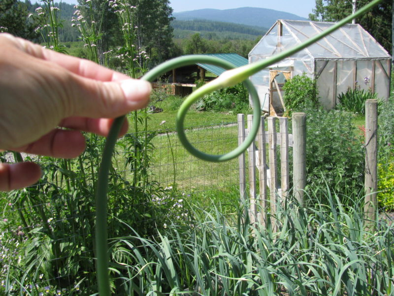 A curled garlic scape right after being snapped off the plant.