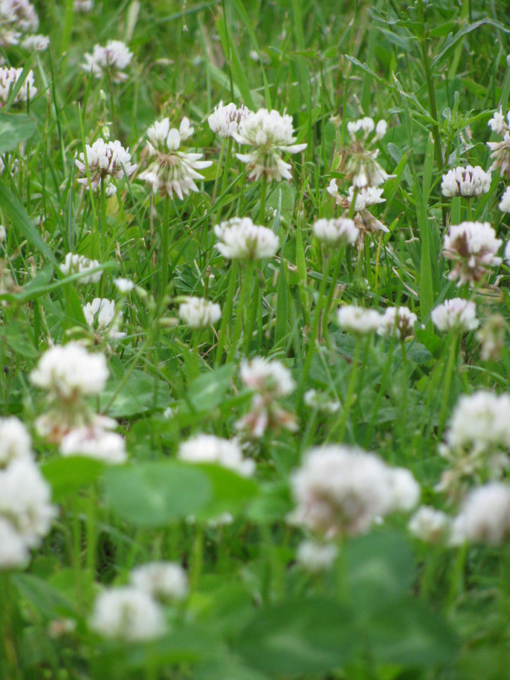 Grass and clover growing in the field.