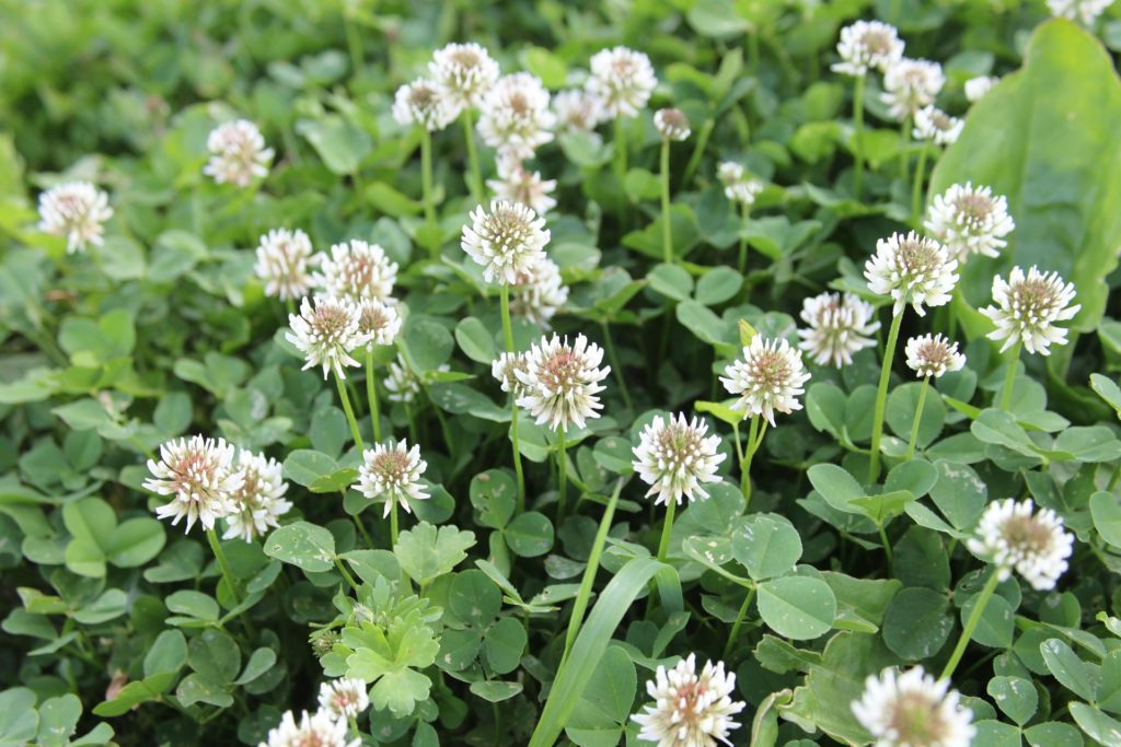 Clover growing and flowering
