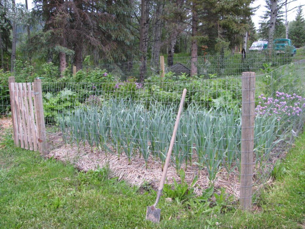 grow garlic, Canadian garlic, how to grow garlic, naturally grown garlic, hardneck garlic