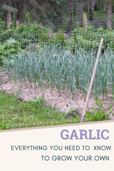 Garlic growing in a garden with shrubs and flowers.