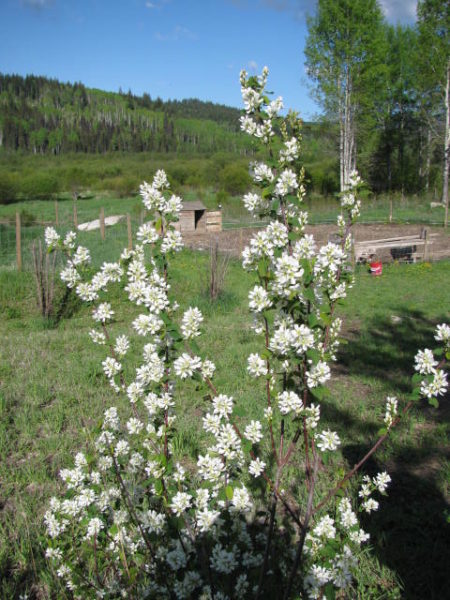 A serviceberry bush in bloom.