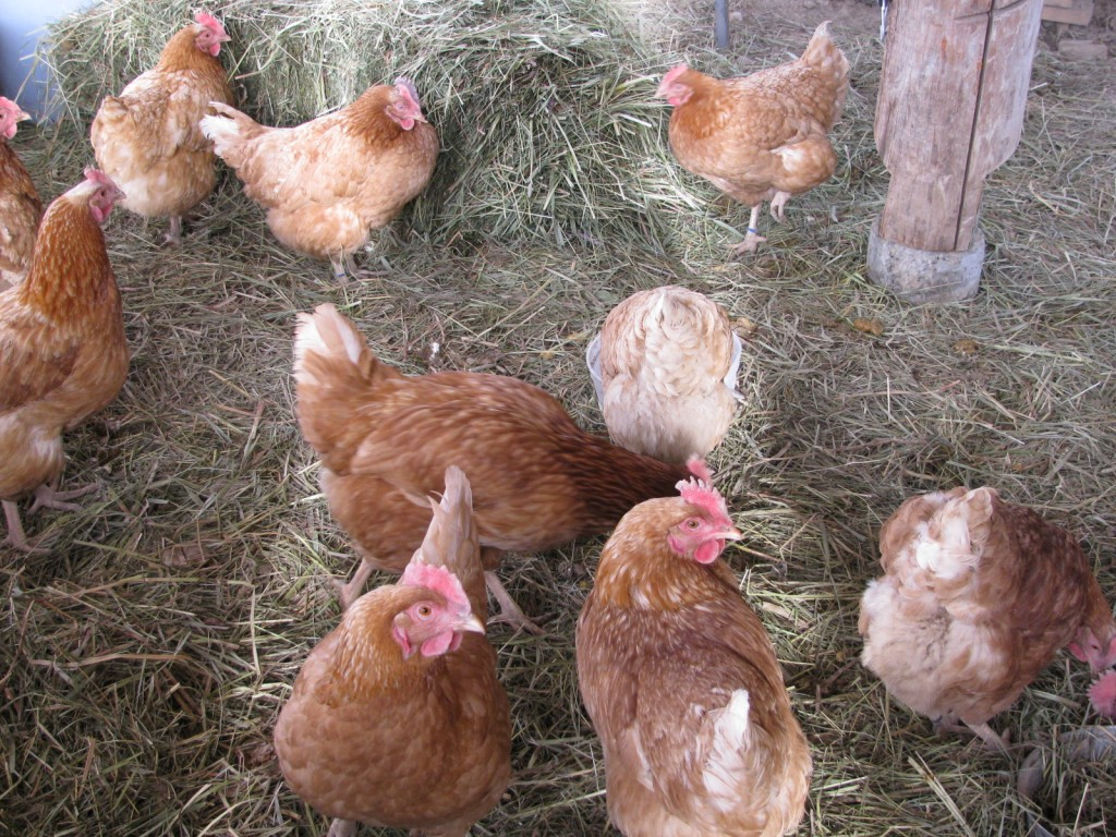 laying hens on a bed of hay