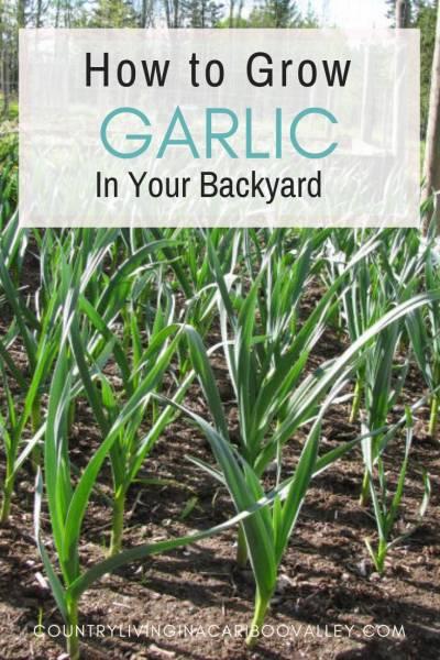 Garlic growing in the backyard garden.