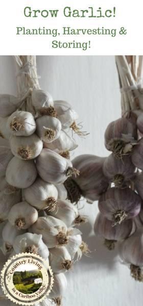 Garlic braids hanging in kitchen