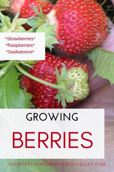 How we grow Raspberries and Strawberries and even Saskatoon berries. Grow berries in containers, raised beds or in the ground. #strawberries #raspberries #berries #gardening