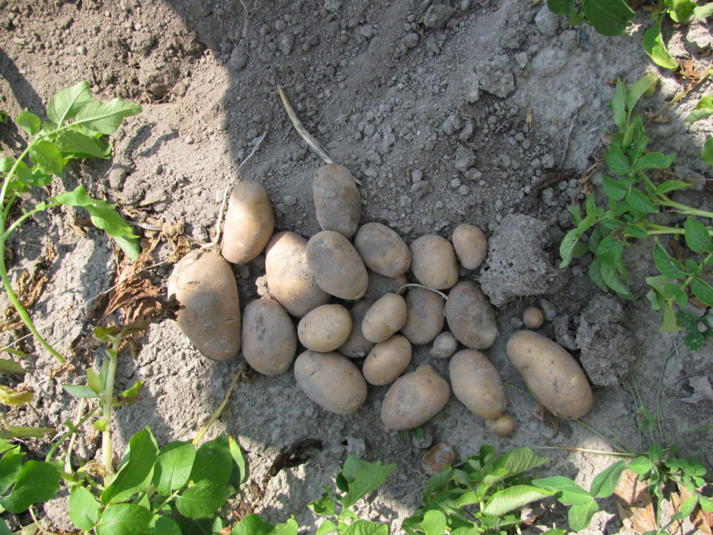 harvesting potatoes, growing potatoes, storing potatoes, winter storage for potatoes