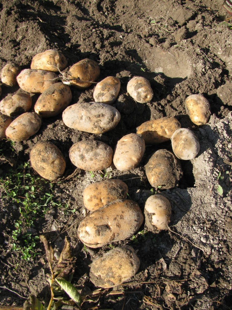 harvesting potatoes, grow potatoes, store potatoes, winter storage for potatoes
