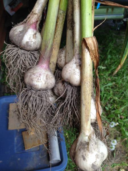 harvested garlic hanging to cure in a breezeway
