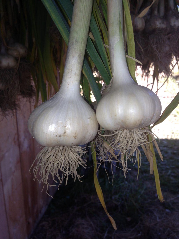 Garlic bulbs hanging to cure