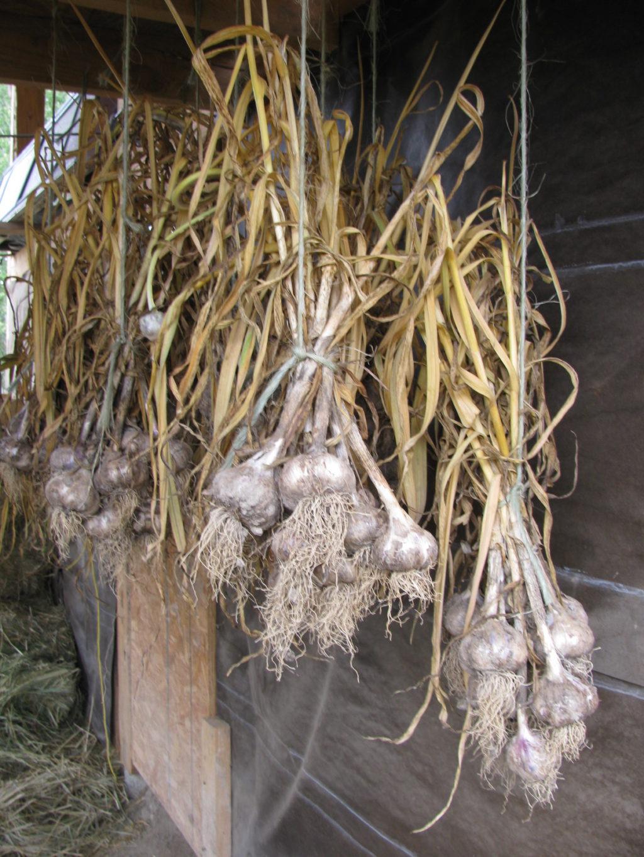 grow garlic, Canadian garlic