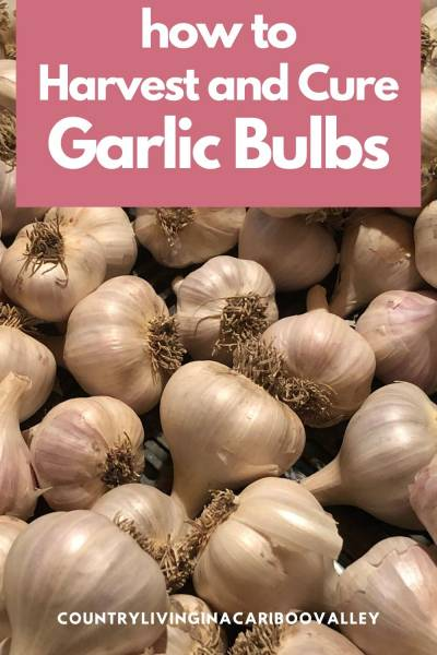 Garlic bulbs in a basket curing after being harvested