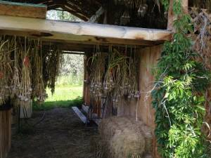 hanging garlic is drying to cure