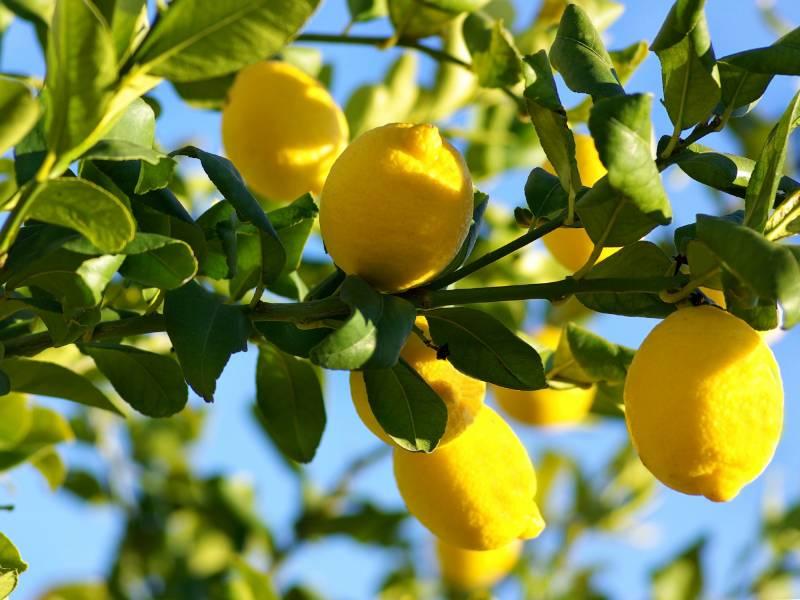 A lemon tree with lemons growing.