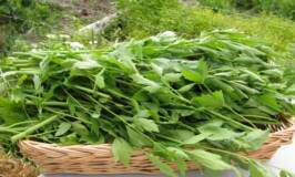what is lovage, grow herbs, grow my own herbs