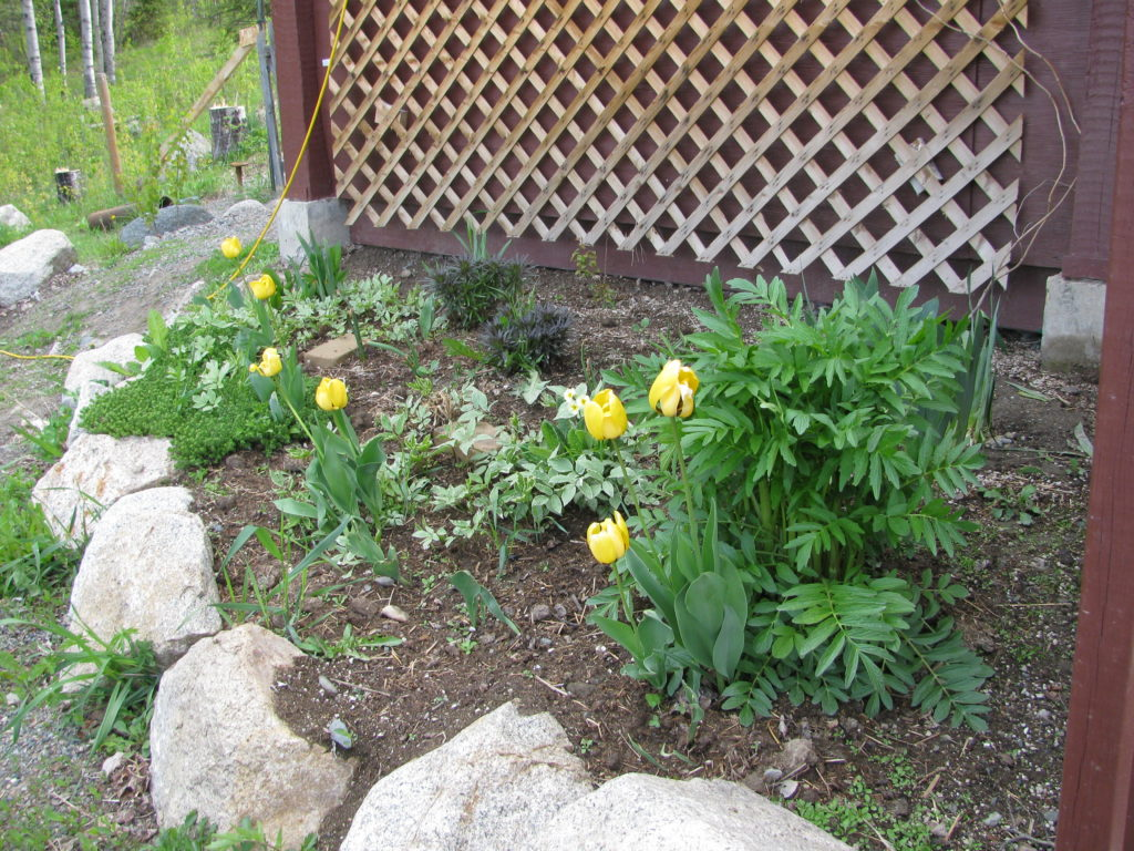 A growing Valerian plant in the flower bed with daffodils and goutweed