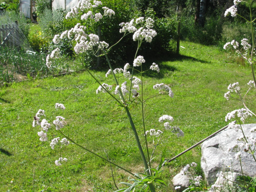 Grow Valerian in any flower bed and the bees will come to the flowers