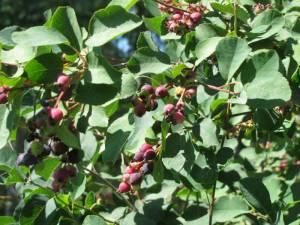 Saskatoon Berries July 25 13  2