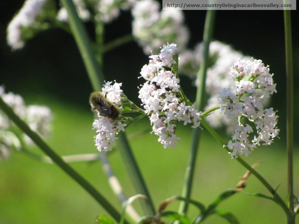 Honey bees on a Valerian flower