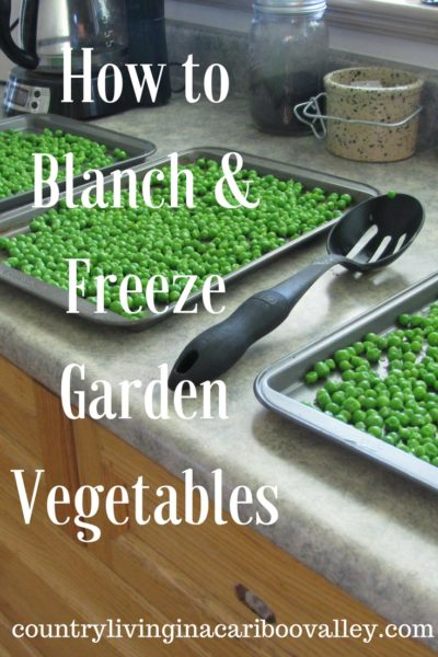 Blanched vegetables on cookie sheets ready to be put in freezer