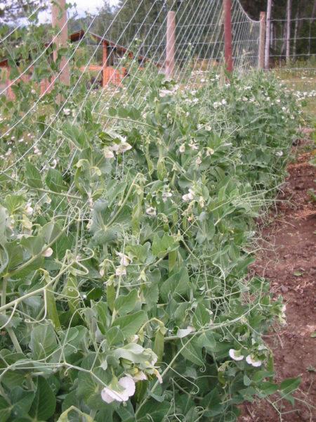 Peas grow up a fence