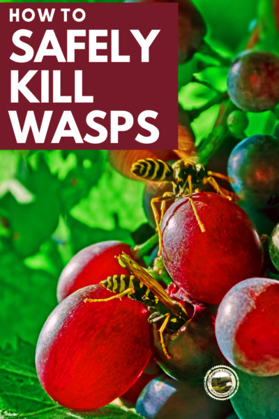 Safely Kill Wasps using beer as an attractant. Wasps eating grapes on a vine