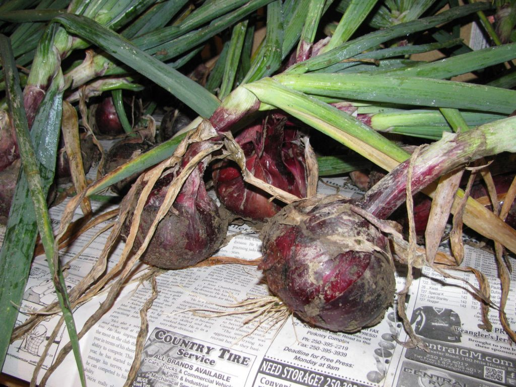 Red onions curing on a rack