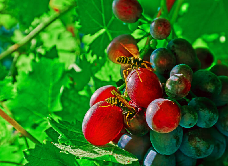 Wasps eating grapes on vine
