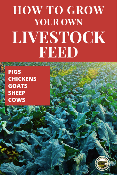 leafy root vegetables growing for livestock feed
