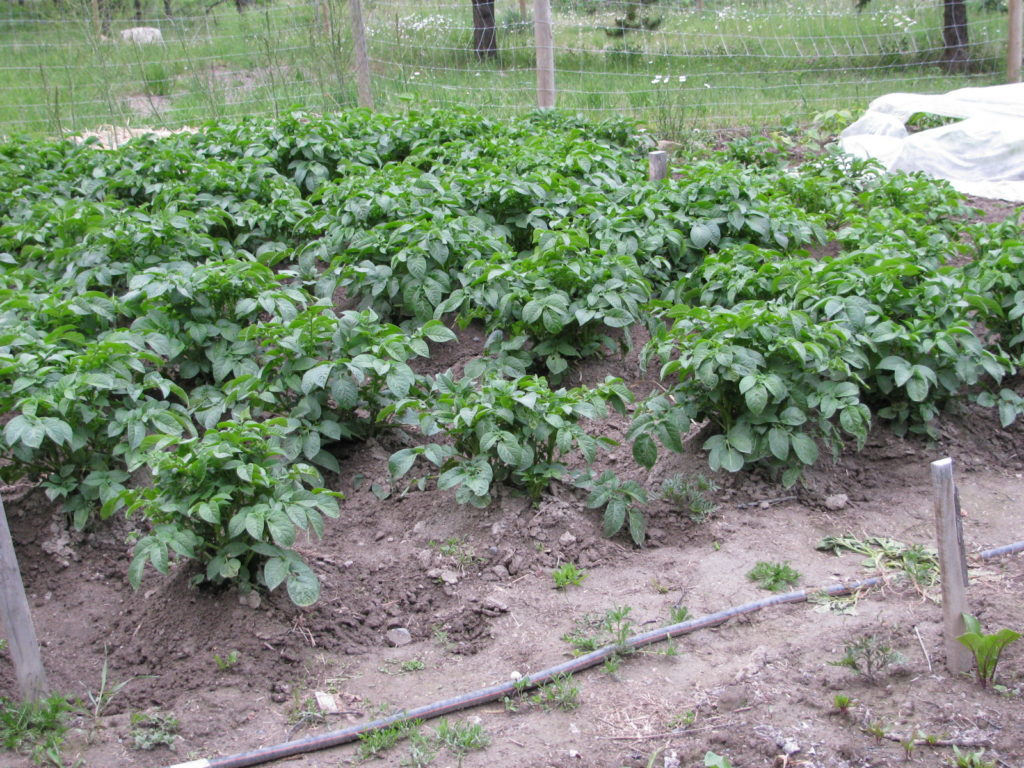 hilled potatoes in the garden