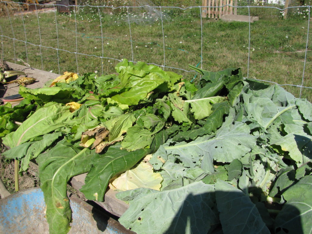 Harvested root vegetables and leaves for animal feed