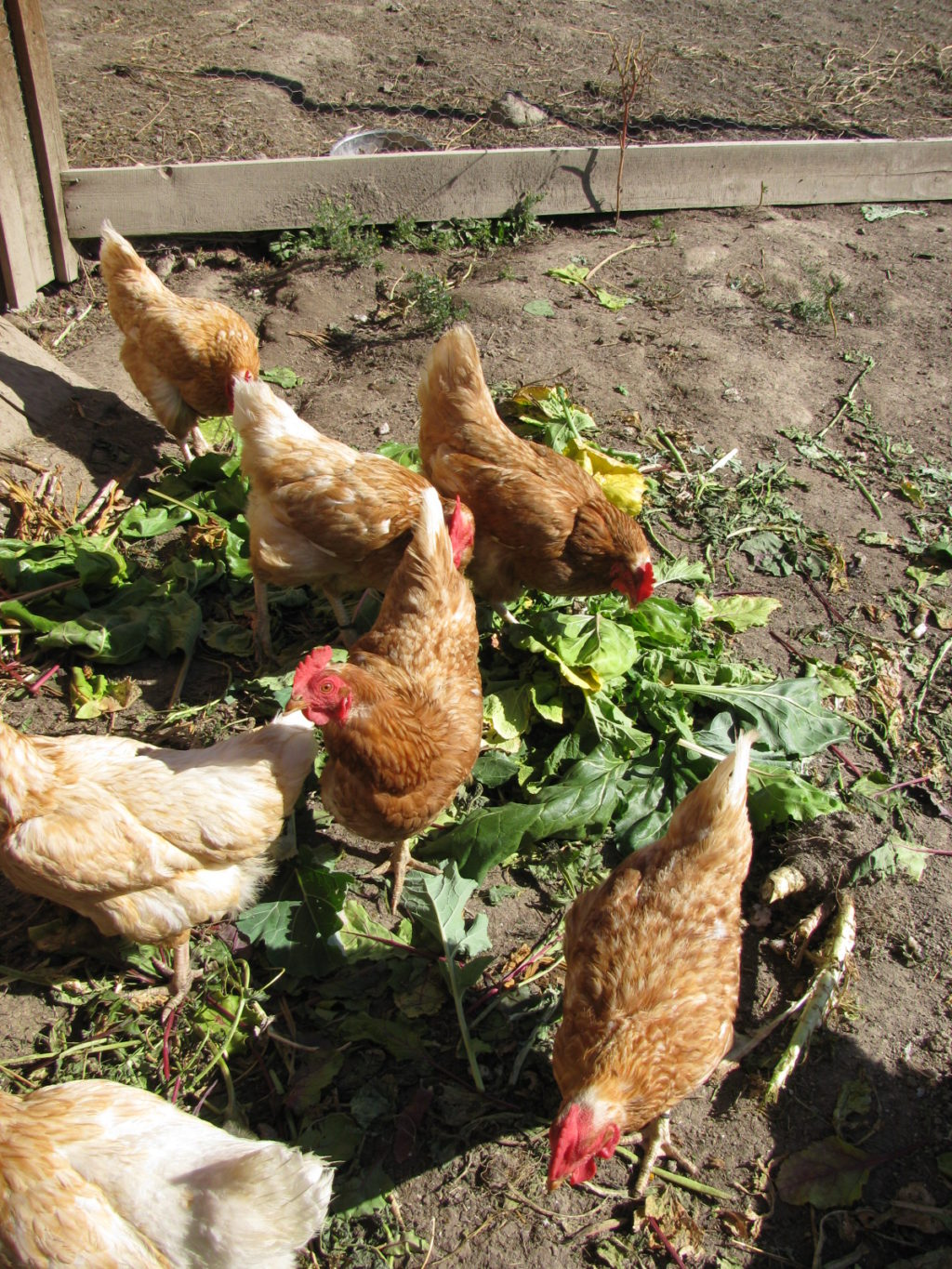 Chickens eating the greens from root vegetables.