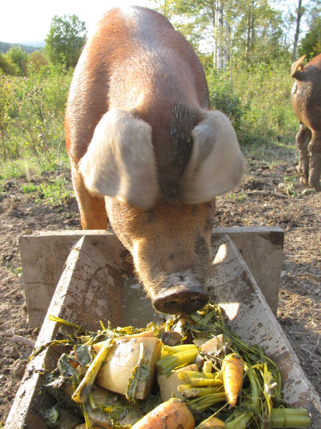 A pig eating cooked potatoes and root vegetables