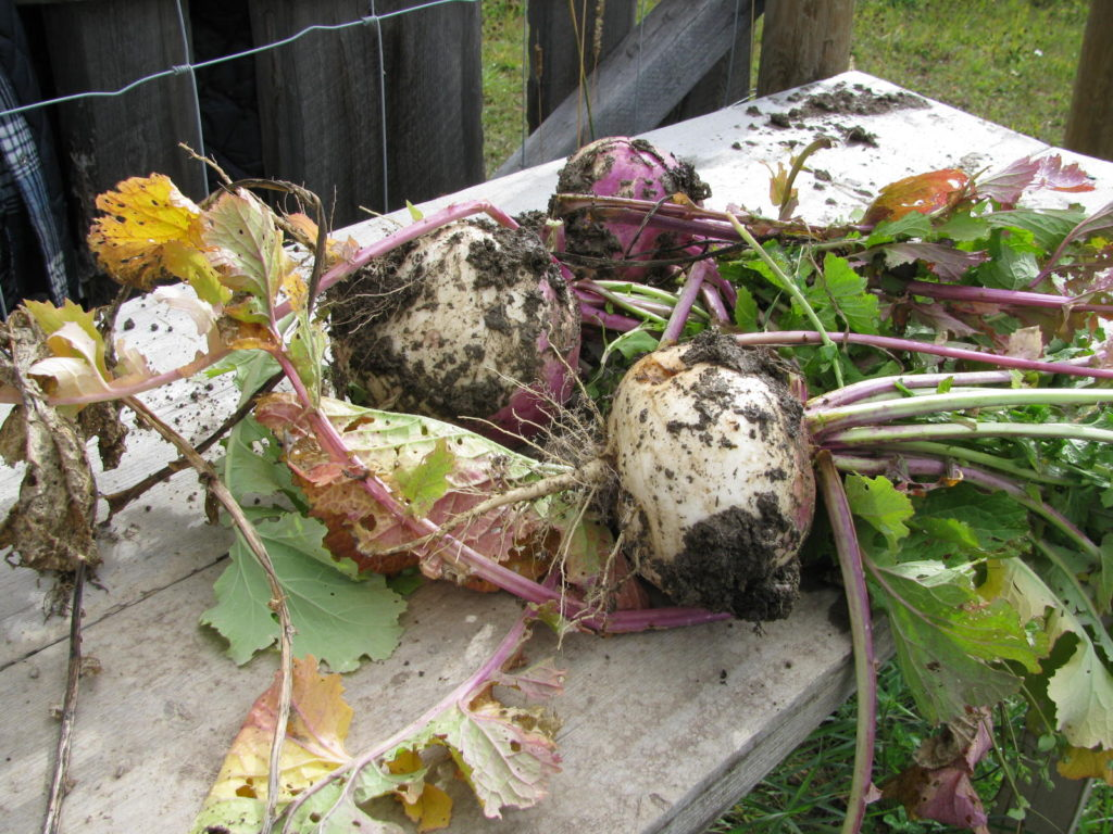 Root crops harvested from the animal garden shows you can grow your own animal feed