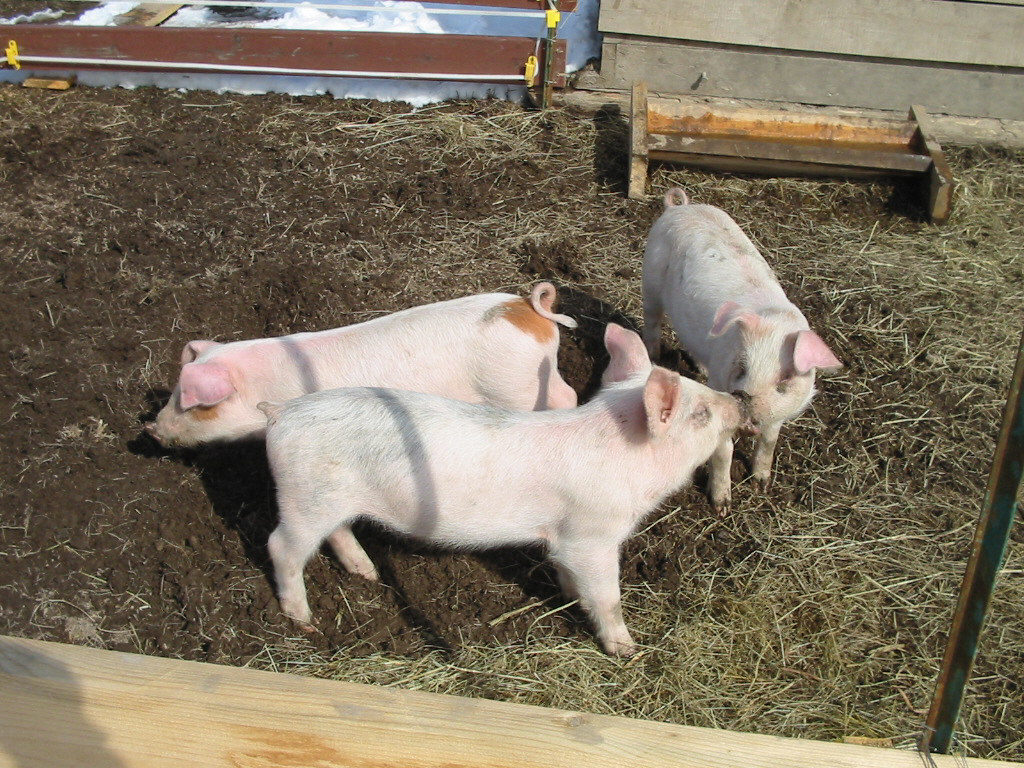 3 little pigs in their pigpen