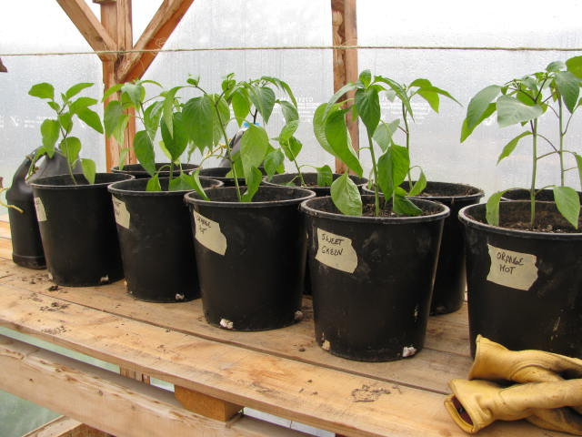 Hot and Sweet Peppers in Pots