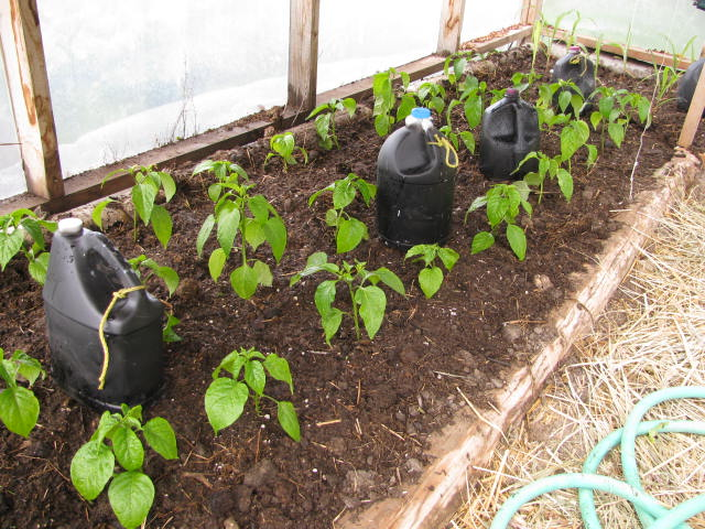 Peppers transplanted into the greenhouse soil.