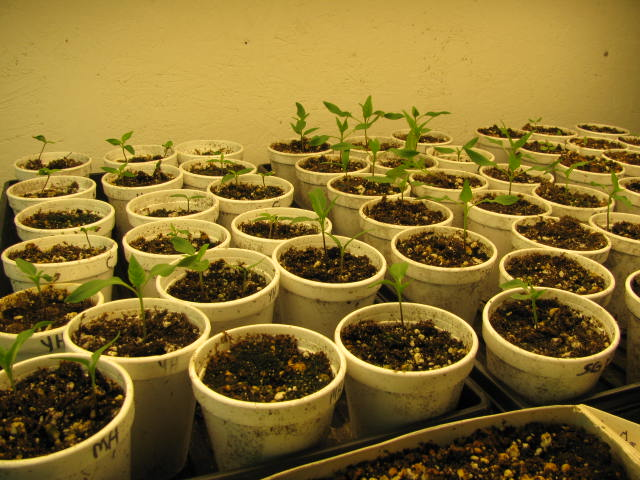 Starting pepper seeds in containers