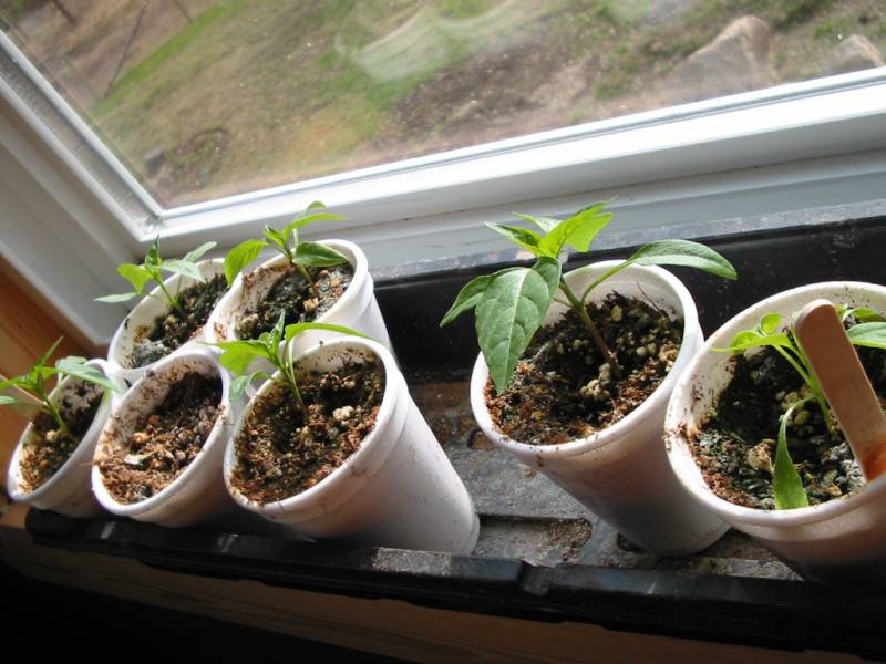 Pepper seedlings sit in a windowsill.