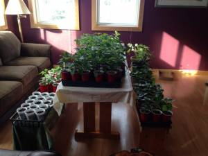 Peppers and Geraniums