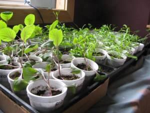 Red Cabbage, Alyssum, Cosmos and Geraniums