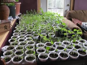 Cabbage, Alysumm, Cherry Tomatoes, Snapdragons