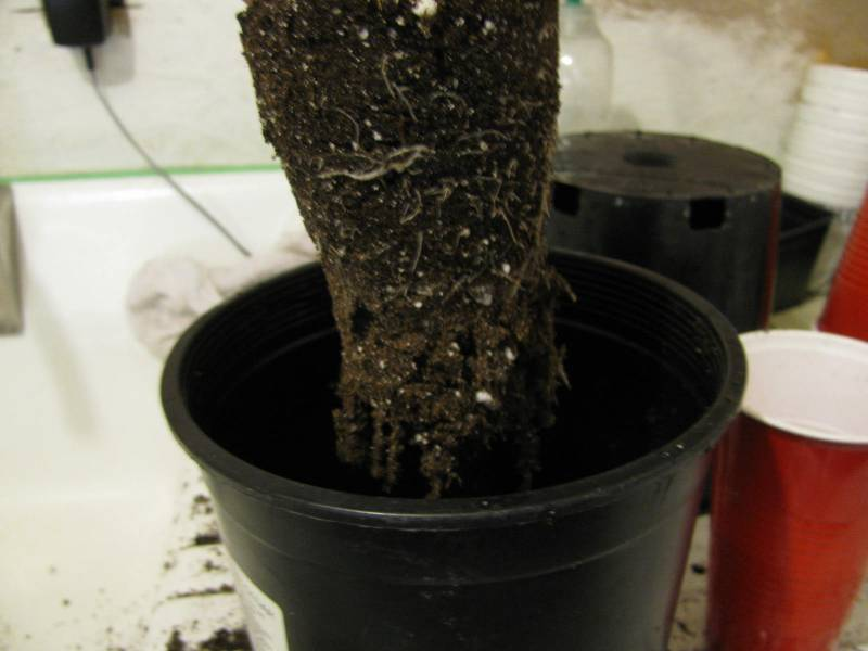 a rootbound tomato seedling being planted into a larger pot