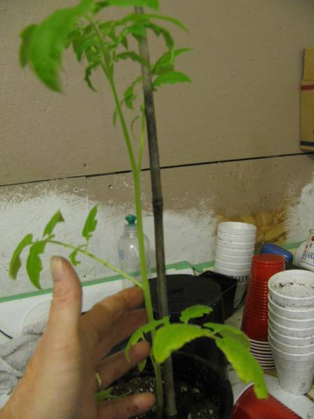 a rootbound tomato seedling ready for transplanting